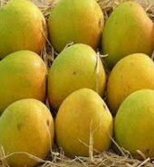 Mango – Alphonoso ( Big Box 12 pieces )